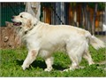 Proven SireAKC English Golden Retriever Stud Service Amazing disposition Great temperament go
