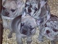 Born 106 AKC registered French bulldogs 3males 1 female