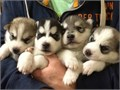 I have a litter of AKC Siberian Husky puppies they will come with a health guarantee and will be up