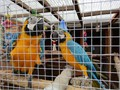 African Grey Price BlueGold Macaws  Greenwinged Macaw is available Visit our website for more inf