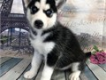 Registered Siberian Husky puppies for adoption Males and females Excellent colors and markings Go
