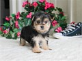 Name Lily DOB 11-12-16Gender FemaleBreed MorkieHypoallergenic YesNon Shedding Yes