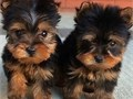 Teacup Yorkies  BoyGirls  11weeks old  vaccinated and come papers interested Textcall 323 402