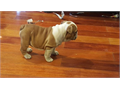 We breed and raise all of our English bulldogs with the highest standards of the breed and provide t