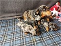 Dachshund puppiesThe pup is bred from excellent top winning bloodlines Available to a loving pe