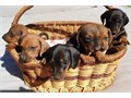 Text or call 317-207-6791 if you need a new pet  because we have a litter of dachshund puppies avai