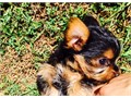 High quality Teacup Yorkie Puppies Male and female available Parents and puppi