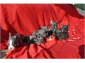 AVAILABLE NOW Call or Text at 323 391-6471French Bulldog Puppies Playful adorable and very