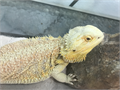 Hypo Citrus Female Bearded Dragon She is a year and half old If you want the whole set up and her