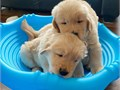 Golden Retriever puppies for adoption Fine puppies AKC registered Very cute playful and healthy