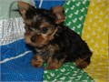 3 Pure Breed 100 Parti Color Toy Yorkies puppies adorable 2 females and 1 males with registration