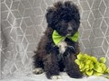 Aussiedoodle puppies for more details and pictures contact me via pwernick7gmailcom or 901 602