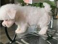 Beautiful Maltese puppies now ready to join new home puppies come with all health papers and also v