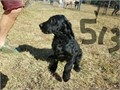 Labradoodle puppies 500 each  boys and girls available ready to go    Also Goldendoodles 700-12