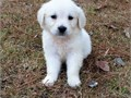 ANGELIC Golden retriever puppies ready they are current on all shots health guaranteed goes along