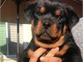 Pure Bred Rottweiler Champions for sale AKC registered Beautiful dogs Mother on site Call 657-222