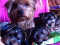 Beautiful Yorkie Puppy 12 Weeks old male Yorkie Puppy Has all shot Completely house bro