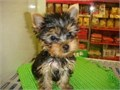 Adopt a teacup Yorkie if you are a person who likes pups These pups are free to go now that they ar