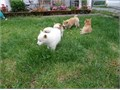 Shiba inu puppies Text or call  317-207-6791  ready for good homes  they are vaccinated and deworm