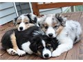 Australian shepherd puppies for lovely home for more available  text or call us on 424x275x7084