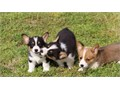 We have available purebred Pembroke Welsh Corgi puppies for rehomingWe also offer delivery service