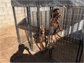 European Doberman puppies born 16 weeks old Males available Tails docked  ears cropped  declawed
