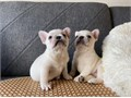 Super cute French Bulldog puppies are looking for a forever loving home Full