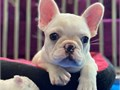 Well Trained French Bulldog puppies They are very well socialized are used to children as well as