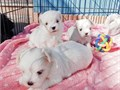Maltipoo and Maletese Puppies for Adoption600I have females and male maltipoo puppies And f