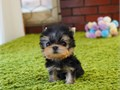 Male and female Tiny Yorkie puppies for sale