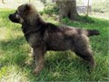 2 adorable German Shepherd puppies for sale a girl and a boyWormed and have had first vaccinat