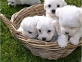 Sweet  playful Maltese for adoption They are 8 weeks old and have this outgoin