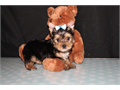 Meet Kale traditional yorkie male carry chocolate parti and might carry ee-gold of his mom Kale tai
