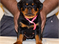 Top European Rottweiler puppy for sale 100 german rottweilers Puppy is Super Gorgeous with Super