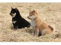 Shiba Inu PuppiesThey are obedient and well socialized and love to play with