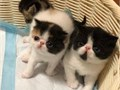 Adorable Exotic Shorthair Kittens for Adoption  kittens are very playful and fr