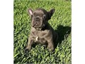 Spirited French bulldog puppies availableThese puppies akc registered  vet checked and will come w