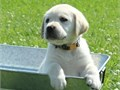 Labrador Puppies5 yellow and white AKC Labradors puppies whelped The Dam Bell