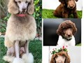AKC Standard Poodle puppiesAvailable October 4th 2021  Starting at