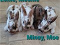 Baby bunnies pedigreed 80 each They have very soft fur Bunnies are located in Granada Hills Pl