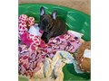 Well Trained French Bulldog puppies They are very well socialized are used to