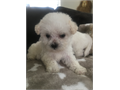 Three darling 34 maltese puppies Two are females and one is male They just turned 8 weeks old yes