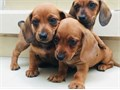 Miniature Dachshunds male  female2 months old With Shots Rehoming each for 850  Serious Inquiries