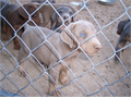Stunning Doberman pups 650 without akc papers 950 with limited akc papers1250 for unlimited akc p