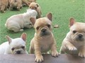 Super adorable French Bulldog Puppies So gentle and affectionate I have 2 left This is a great br