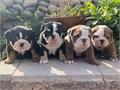 AKC English Bulldog puppies for sale3 Males 1 Female Tri-Black Male5500