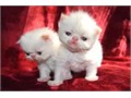 Himalayan Color-Point Persian kittens for sale CFA seal points blue points flame points tortie