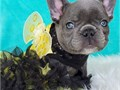 Young French bulldog For more information and lovely pics and videos about the Frenchie please text