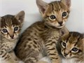 Savannah kittens available for adoption All papers available vaccinated for rabies leukemia dist