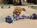 Puppys name LaylaBreed Cavalier King CharlesAge 11 weeks oldRegistry AKCEstimated adult